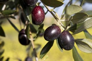 Curso sobre cultivo del olivo en ecológico en Galicia