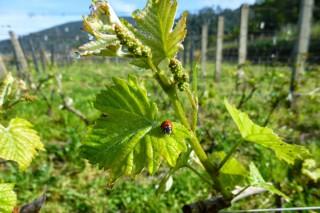 La UE publica las nuevas normas para autorizar plantaciones de viñedo
