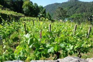 Galicia demanda una distribución territorial de las autorizaciones para nuevos viñedos