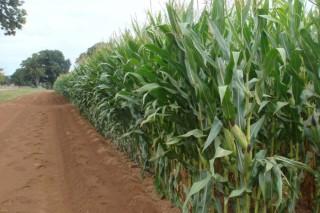 ¿Cuál es la mejor variedad de maíz forrajero?