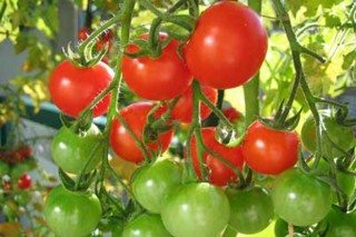 Consejos para el cultivo del tomate