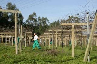 El vino gallego, un sector en auge pero que precisa gente joven y de viñedos más grandes