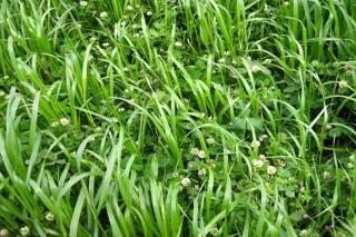 Vantaxes da rotación de cultivo de forraxeiras con millo e xirasol