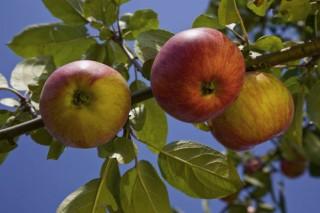 Recomendaciones para el cuidado de los manzanos durante estas semanas