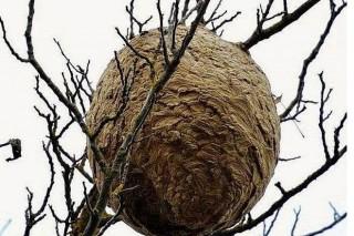 Comprometen la retirada de nidos de avispa asiática en menos de 5 días