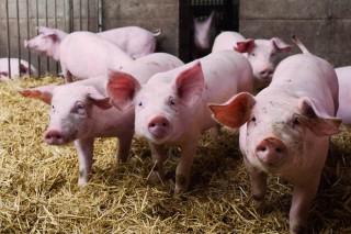 Una granja de porcino gallega logra la distinción a la mejor de España
