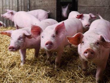 Precios récord en los cerdos, con el temor a la llegada de la peste porcina