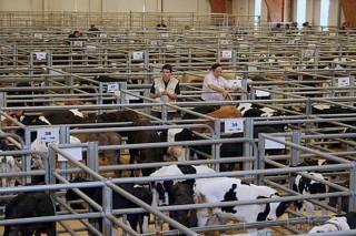 Nuevas normas de funcionamiento de la Central Agropecuaria de Galicia para retomar las subastas de ganado