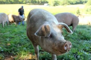 Medio Rural actualiza el censo de cerdos para autoconsumo ante la amenaza de la peste porcina africana