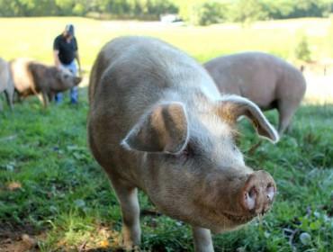 Nueva bajada del porcino en Silleda