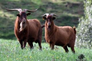 Curso de iniciación y mejora de ganadería de ovino y caprino en Mondariz
