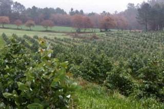 ¿Deben regularse las nuevas plantaciones de eucalipto en Galicia?