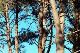 El precio del pino se mantiene bajo, con la excepción positiva del sur de Pontevedra