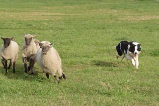 Curso gratuíto de adiestramiento de perros pastores