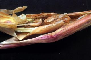 Encuentran 21 genes para proteger el maíz frente al taladro