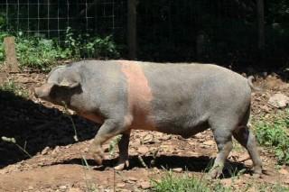 El cruce de Cerdo Celta con Duroc presenta la carne de más valor nutricional y sabor