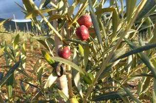 ¿Por qué casi desaparecieron los olivos de Galicia?