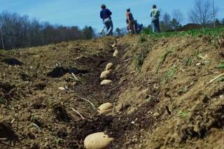 Recomendaciones para plantar patatas en este año lluvioso