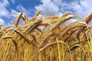"""Prevén que el """"greening"""" hará caer este año un 8% la produción europea de cereales"""