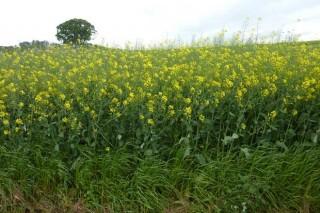 Cultivos alternativos para el pago verde de la PAC: la colza