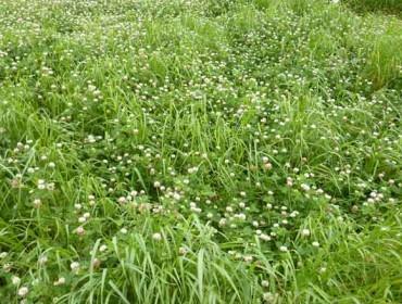 El empleo de tréboles en ensilados de hierba y pastoreo aumenta la producción de leche