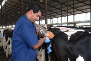 Tasa de preñez de 21 días: Cómo conseguir una alta eficienciareproductivaen vacuno de leche