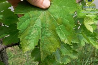 Detectadas las primeras manchas de mildiu en viñedos de la provincia de Pontevedra