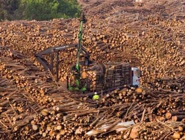 Estabilidad en los precios del pino, bajada en el eucalipto