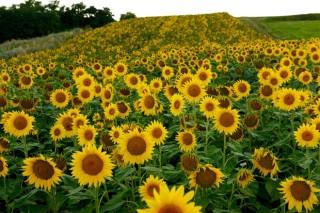 Cultivos alternativos para el pago verde de laPAC: el girasol