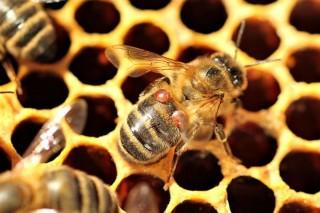 El Ministerio presenta una guía técnica de lucha y control contra la varroa