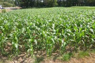 Recomendaciones para la fertilización del maíz forrajero