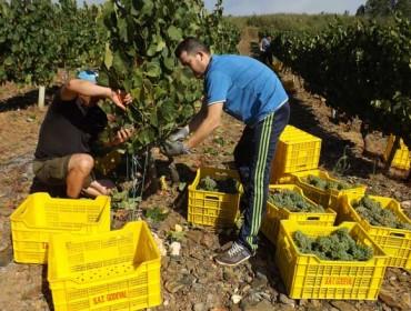 La DO. Valdeorras aumenta las garantías de origen de la uva en esta vendimia
