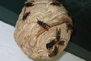La Xunta reparte más trampas para frenar a la avispa asiática