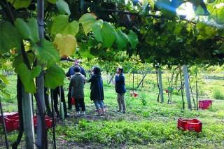 Cuatro bodegas de Rías Baixas firman contratos con 84 viticultores