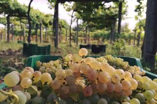 La Xunta simplifica la declaración de cosecha de uva de los viticultores gallegos