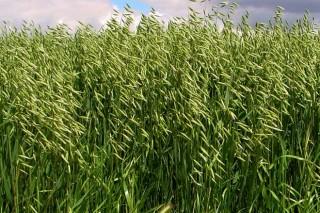 Cultivos alternativos para el pago verde de la PAC (V): la avena