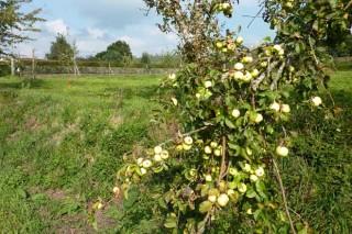 """El 2017 se presenta como un año """"excelente"""" para producción de manzana"""