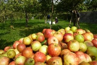 Galicia prevé una cosecha histórica de manzana de sidra, con unos 9 millones de kilos