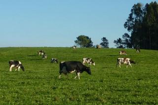El 60% de las explotaciones lácteas mantiene el uso del pastoreo