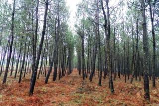 Renovadas las medidas fitosanitarias contra el nematodo del pino