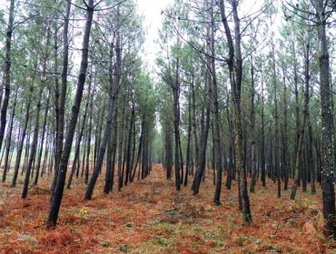 Ayudas para tratamientos silvícolas en pinares y masas de frondosas