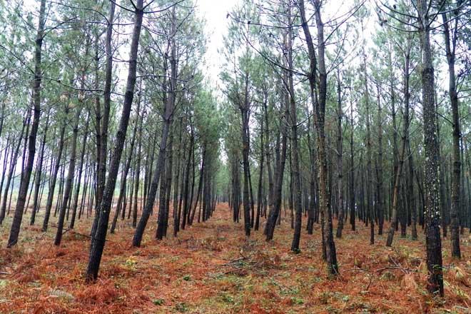 La Xunta subastará 52 lotes de pino por casi 1,4 millones de euros