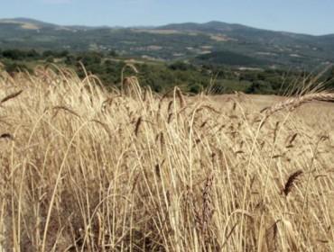 El trigo del país doblará su producción con la IGP Pan Galego