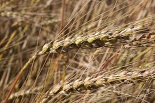 Cultivos alternativos para el pago verde de la PAC (VIII): el trigo