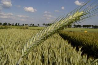 Cultivos alternativos para el pago verde de la PAC (VII): el triticale