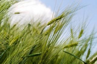 Cultivos alternativos para el pago verde de la PAC (VI): el centeno