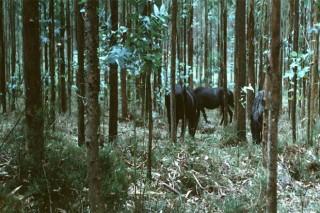 ¿Como gestionar el ganado en el monte en un sistema silvopastoral?