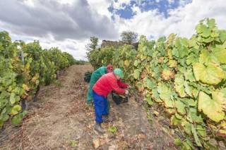 La Xunta pone en marcha un nuevo plan para evitar fraudes en la vendimia