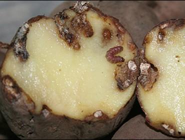 Ayudas de la Xunta para los afectados por la polilla de la patata