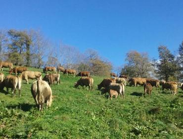 5611 ganaderías de vacuno de carne de Galicia recibirán de promedio 1400 euros de ayudas por la Covid 19